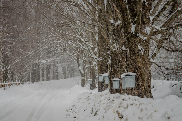 Sugar maple trees in snow with buckets for tapping syrup